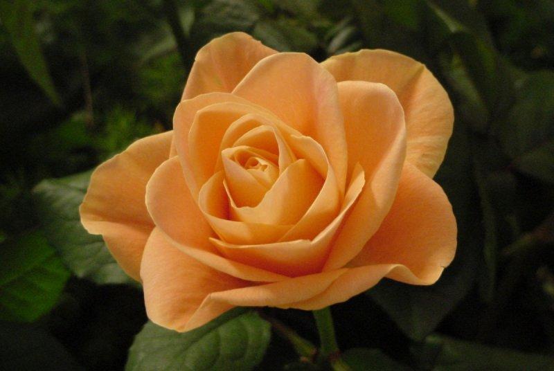 002070-rose-photo-libre -de_droit