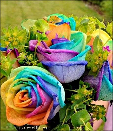 La rose arc-en-ciel, une fleur de toutes les couleurs