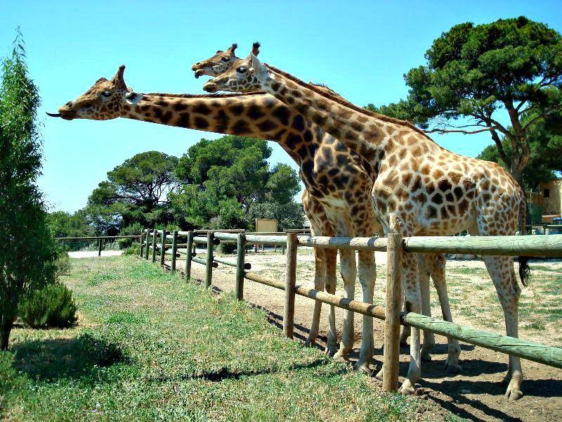 La girafe- _ espèce _ mammifères_ ongulés_ artiodactyles