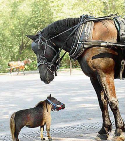 Un des plus petit cheval du monde