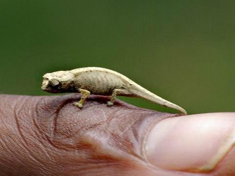 Le- plus- petit -caméléon