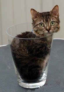 Le plus petit chat du monde : 15.5 cm