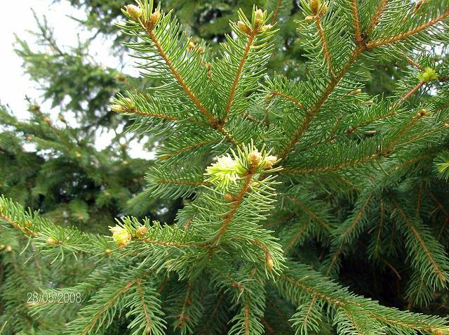 sapin de noël naturel arbre de noël