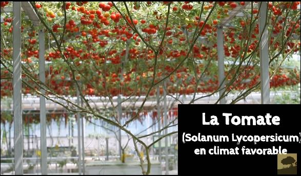 tomate-arbre-lOctopus Tree